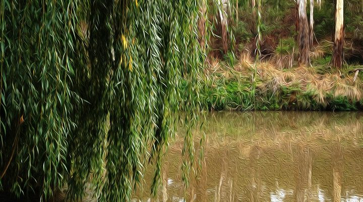 Old Willow Tree by the Yarra River.