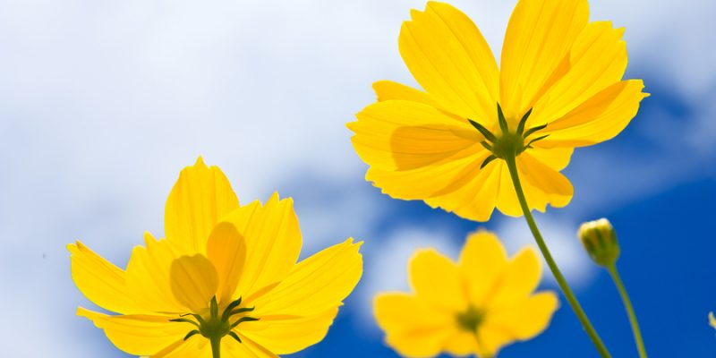 Yellow Cosmos Flower And Blue Sky