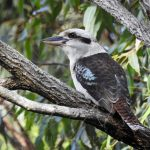 Kookaburra Laughs