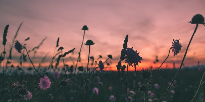 Field of wildflowers at sunset