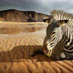 A Zebra Dreaming
