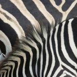 How Stripes Make Zebras Invisible To Bugs