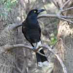 Liquid Song Of Currawong