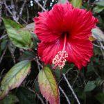 Humble Hibiscus