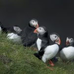 Circus Of Puffins