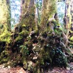 Antarctic Beech Roots