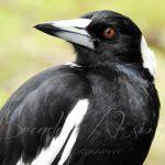 Magpies Squawk