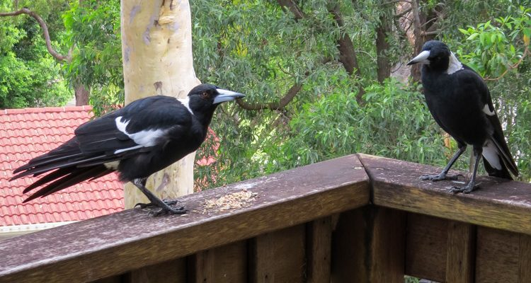 Magpies Perched