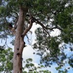 A Spotted Gum