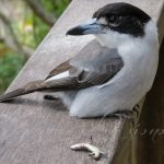 Butcherbird Swoops