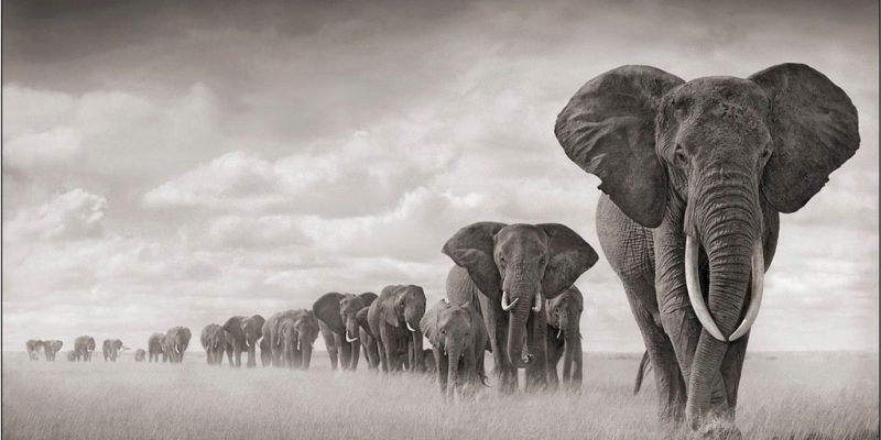 Elephants Walking Through Grass in Amboseli 2008 by Nick Brandt