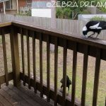 As Magpies Feed