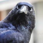 Cautious Raven