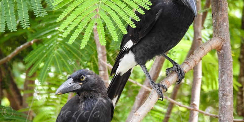 Throng Of Currawongs