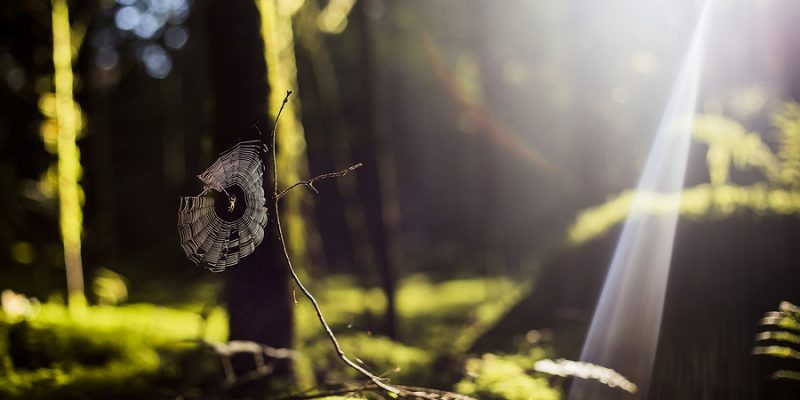 Spider on a web in a forest with sun ray