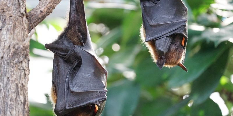 Flying foxes suspended from branch