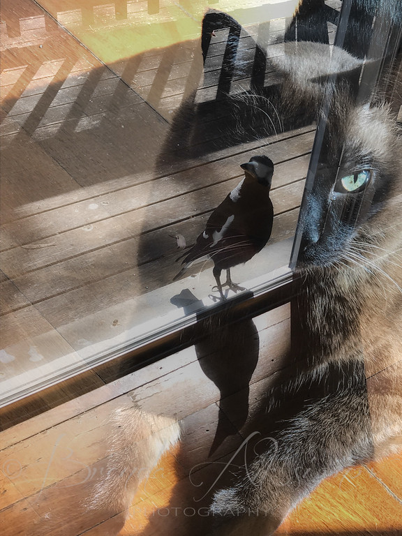 Cat and magpie reflection