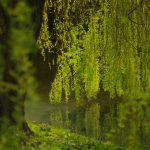 Ancient Willow